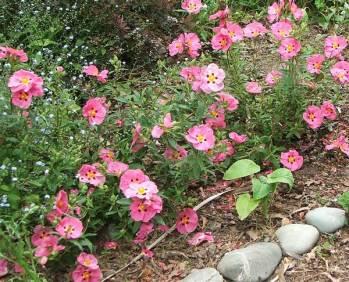 rock-rose-pink