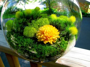 irish moss globe