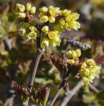 rhus-trilobata-flowers