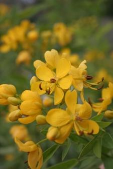 senna shrub