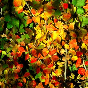 Skunkbush in the fall.