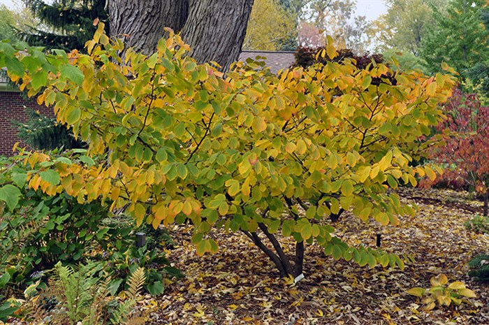 Witch Hazel Hamamelis Virginiana Witch Hazel Part Ll A