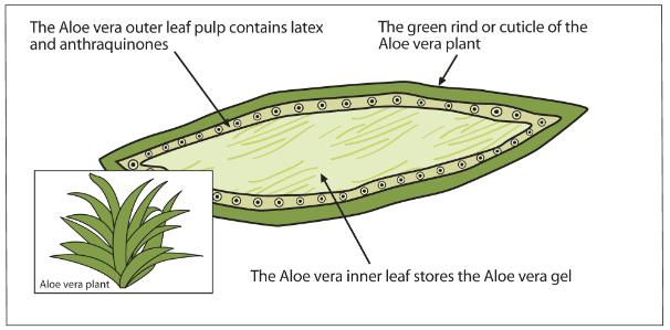 aloe-crosssection