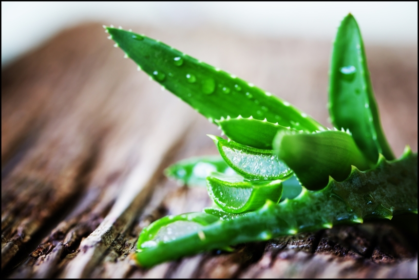 Green-leaves-of-aloe-plant-close-up