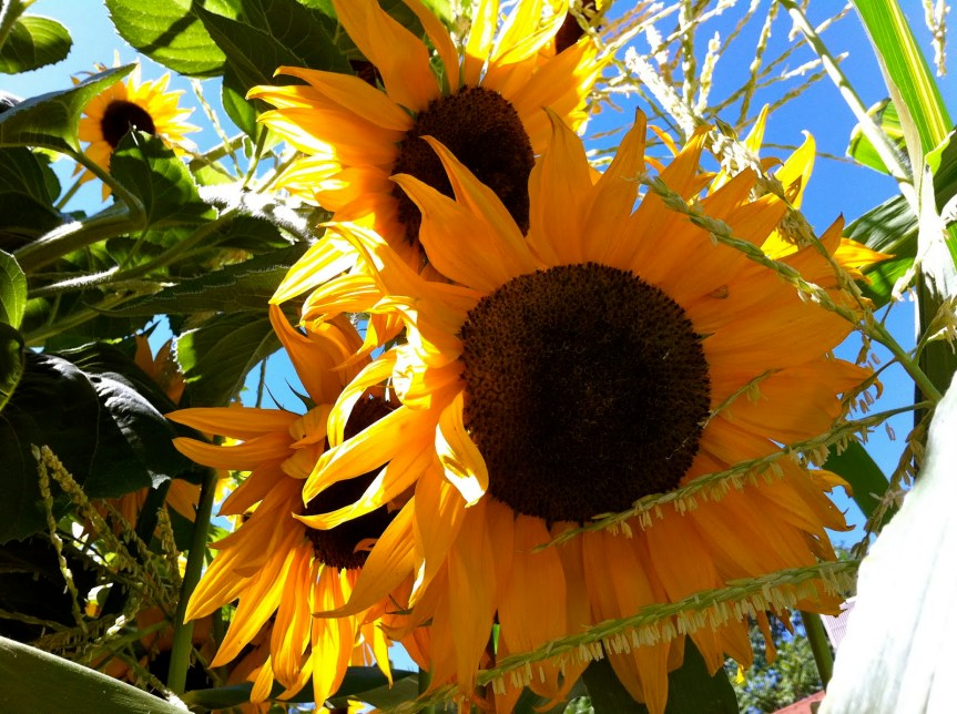 Sunflower  {Helianthus annuus}