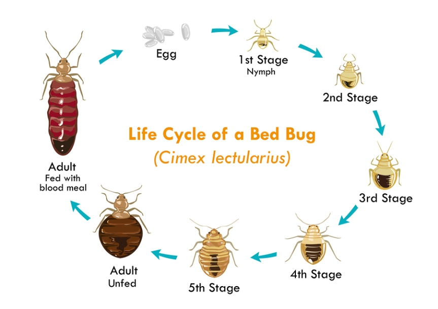 What Are Bed Bugs? How To Get Rid Of Bed Bugs.