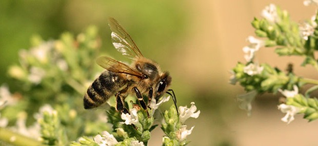 Gardeners Can Improve Plight of the Honey Bees