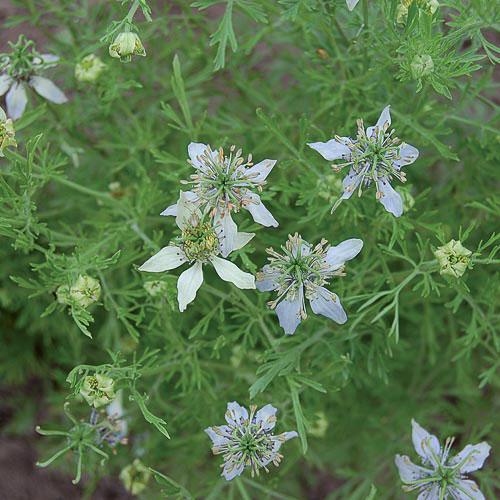 black-cumin-herb