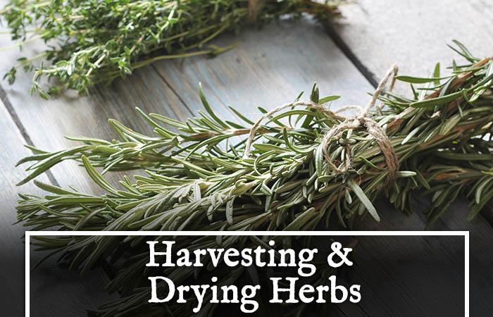 harvesting-herbs