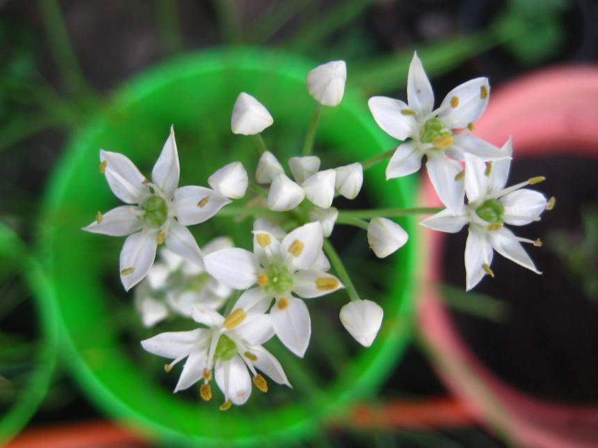 lemon-balm-flowers