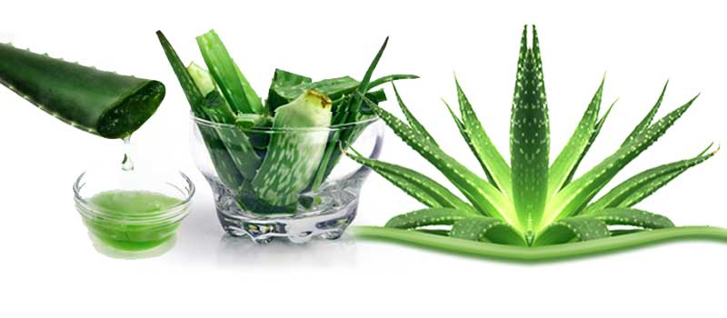 Review on the Therapeutic Effects of Aloe spp.