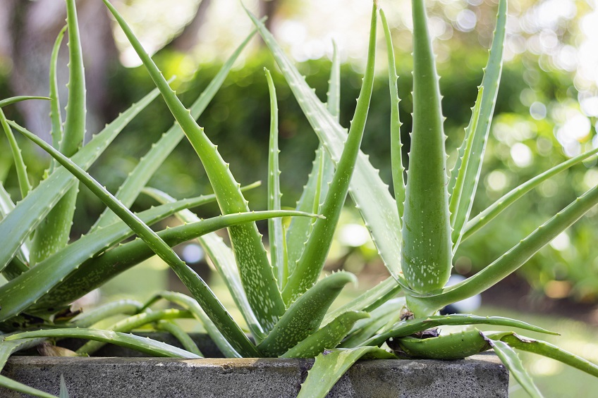 Guide to Growing Your Own Aloe Vera