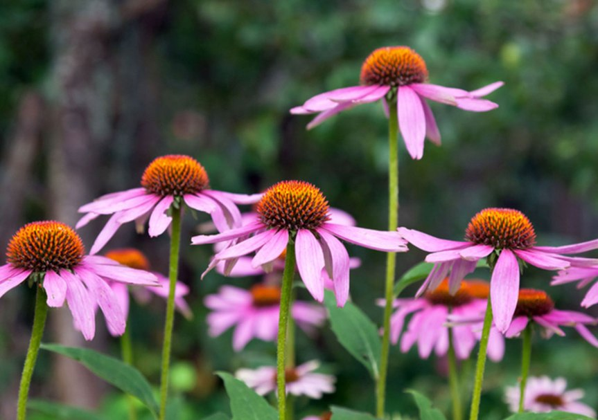 tradmed_bp_november_embed_echinacea101_01-web_crop
