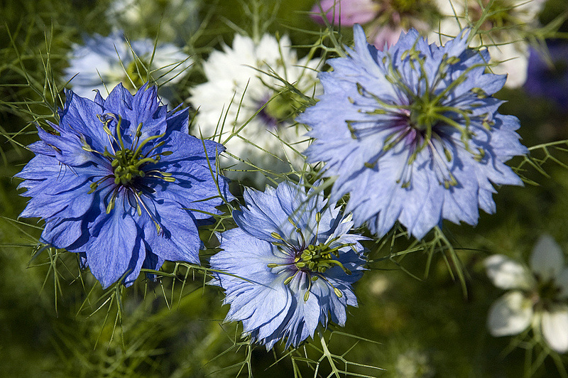 Potential Role of Nigella in Prevention and Control ofHypertension