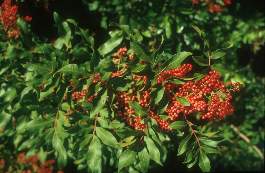Brazilian Pepper Tree Packs Power to Knock Out Antibiotic-Resistant Bacteria