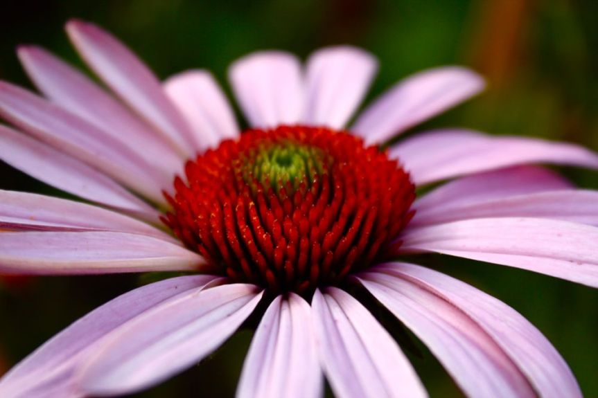 Echinacea: Health Benefits, Uses, Research