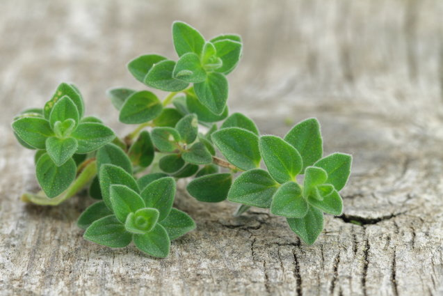 oregano-herb