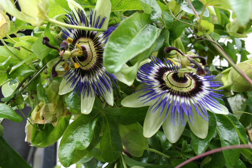 Health Benefits of PassionFlower