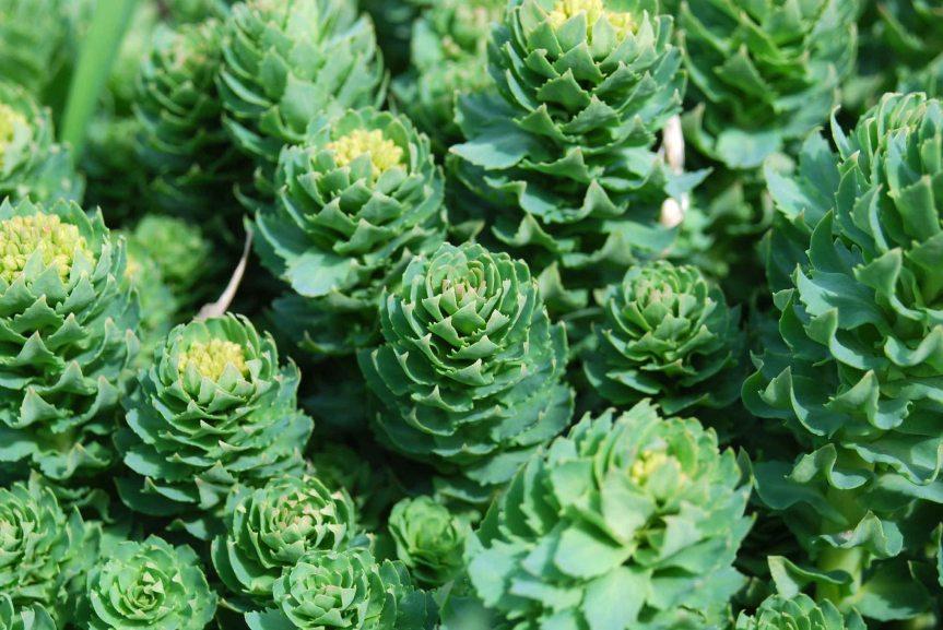 rhodiola-rosea-medicinal-plant