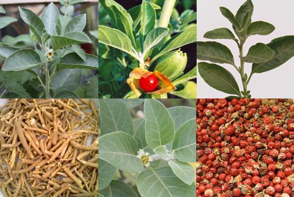 Sleep-Inducing Herb? Ashwagandha