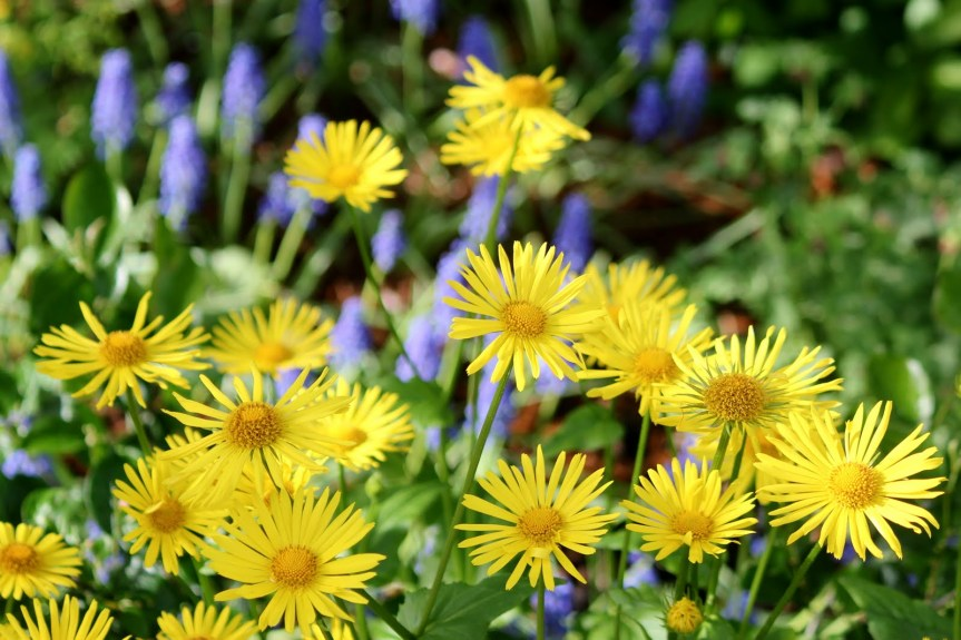 Adulterants Bulletin ~ Arnica Montana