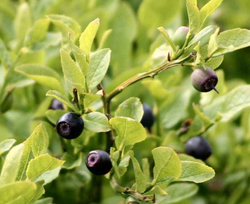 Bulletin on Adulteration of Bilberry (Vaccinium myrtillus) Extracts