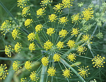 Fennel 'Safe and Effective' for Easing Menopause Symptoms