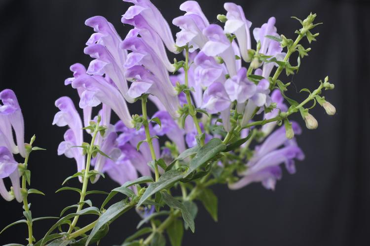 Bulletin on Adulteration of Scutellaria lateriflora