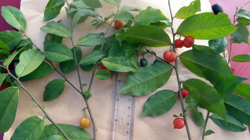 African Plant Extract Offers New Hope for Alzheimer's