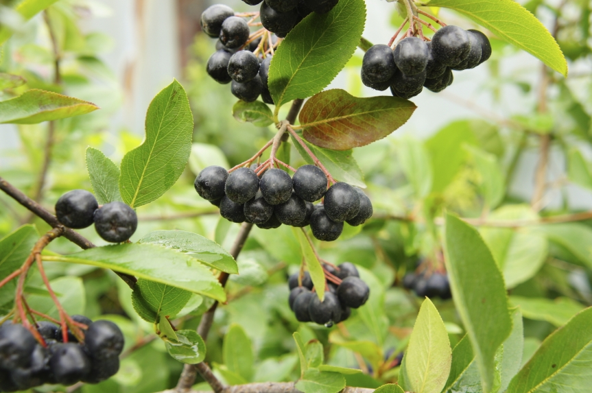Black Chokeberry—Bioactivities of Phenolic-rich Fruit May Contribute to Prevention of ChronicDiseases