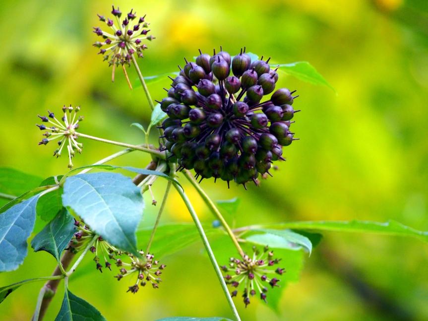 12 Potential Health Benefits OfEleuthero
