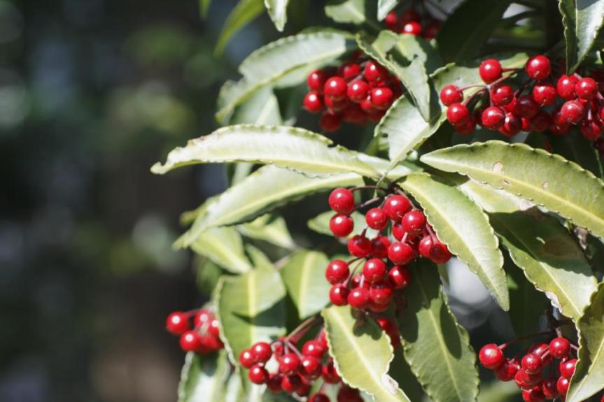 Coralberry Extract Could Offer Better AsthmaTreatment