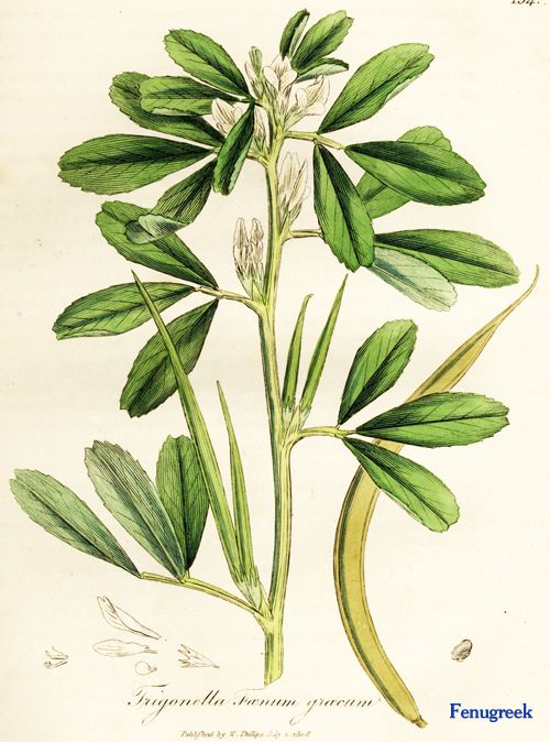 fenugreek botanical art