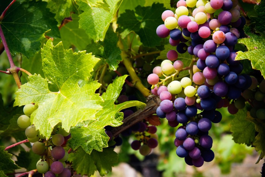 Review of Studies of Grape Products Documents Bioactivities that May Reduce Risk of CardiovascularDisease