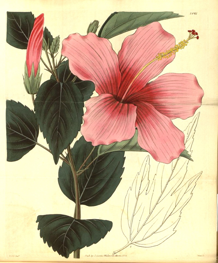 Hibiscus_lilieflorus-rosa-sinensis