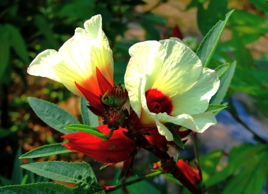Clinical Efficacy of Hibiscus in Improving Iron Status in Patients with Anemia