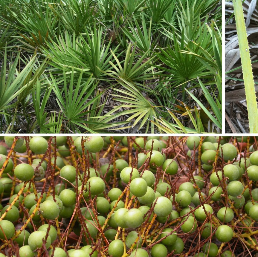 Saw Palmetto {Serenoa repens}