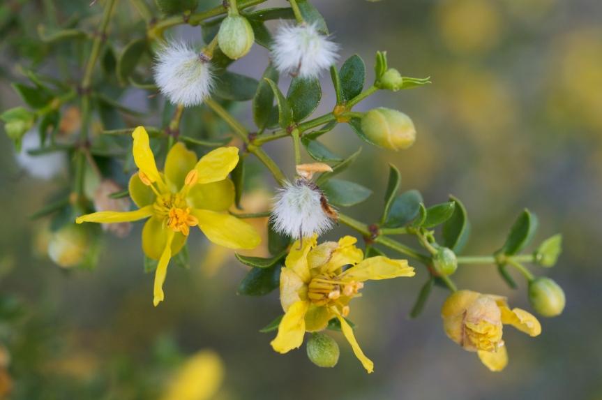 Plant Profile: Chaparral