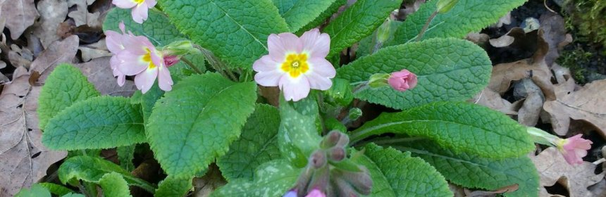 Lung Cleansing Benefits of Lungwort and Osha Root   Crooked