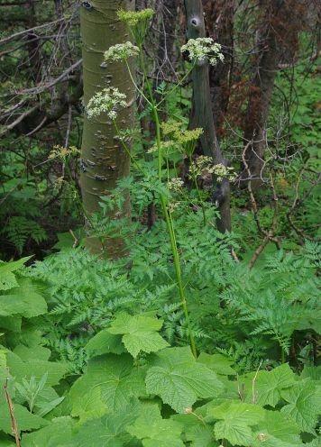 osha root plant