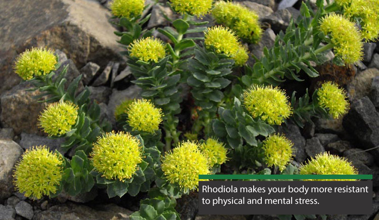 Exploratory Trial Suggests Rhodiola May Benefit Prolonged or ChronicFatigue