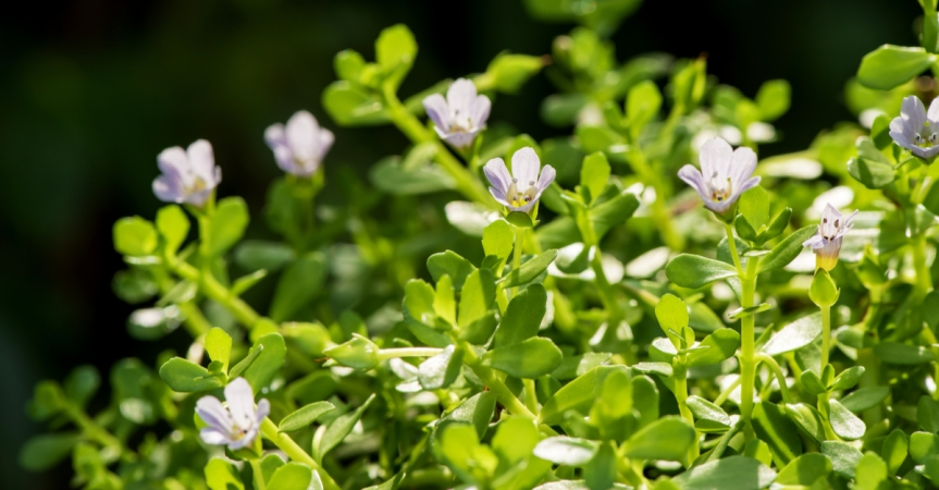 Review of Bacopa for the Treatment of Alzheimer's Disease