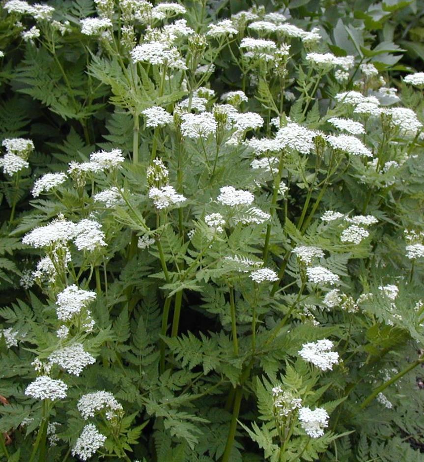 Spring Herb: Cicely {Myrrhisodorata}