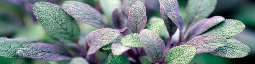 Plant Profile: Sage