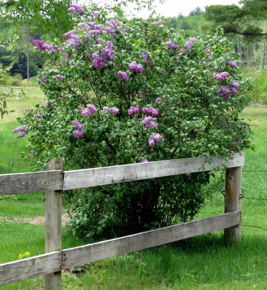 Organic Garden Guide: Renovating And Moving Lilacs