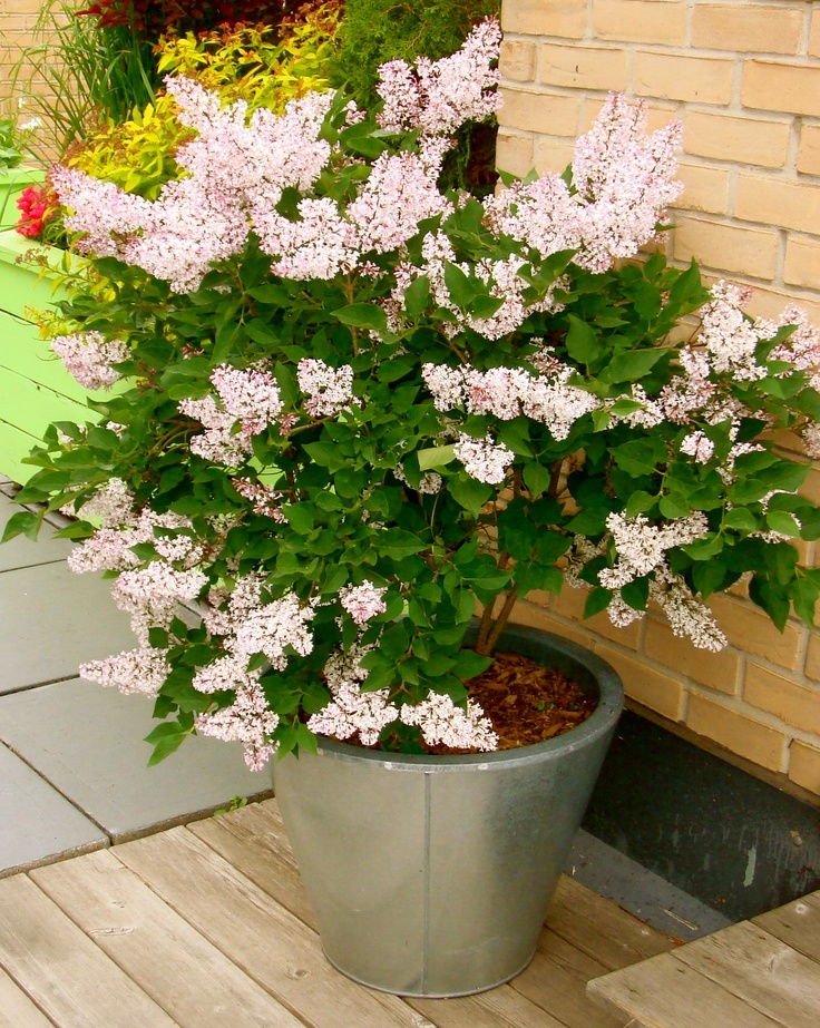 lilac in container
