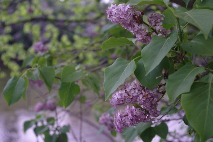 Organic Garden Guide: PruningLilacs