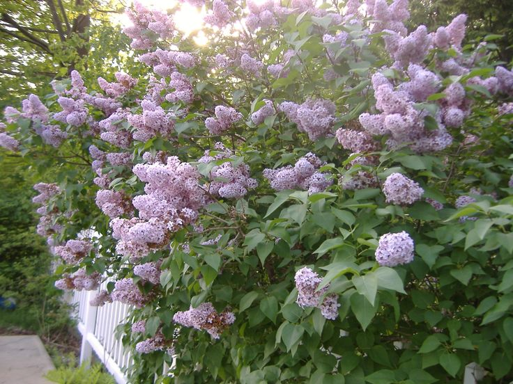 Organic Garden Guide: Growing Garden Lilacs