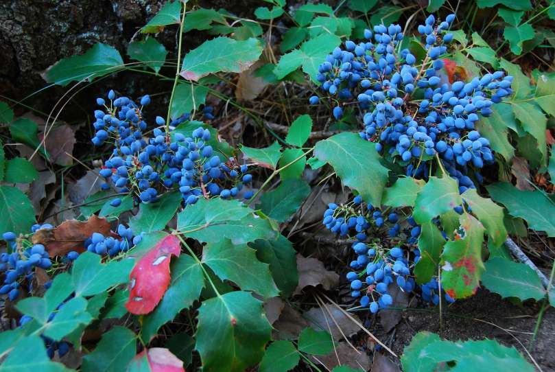 Our Beloved Oregon Grape
