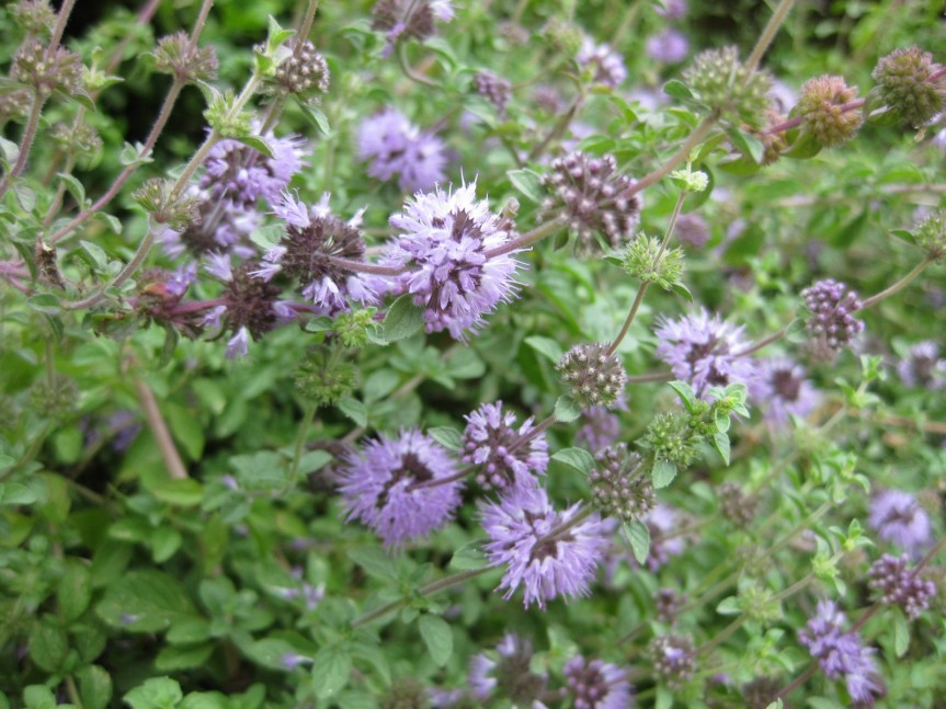 Plant Profile: Pennyroyal